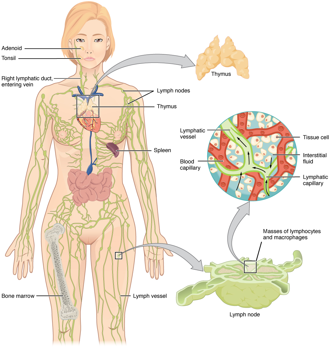Anatomy Of The Lymphatic And Immune Systems Anatomy And Physiology