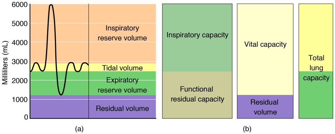 The left panel shows a graph of different respiratory volumes. The right panel shows how the different respiratory volumes result in respiratory capacity.