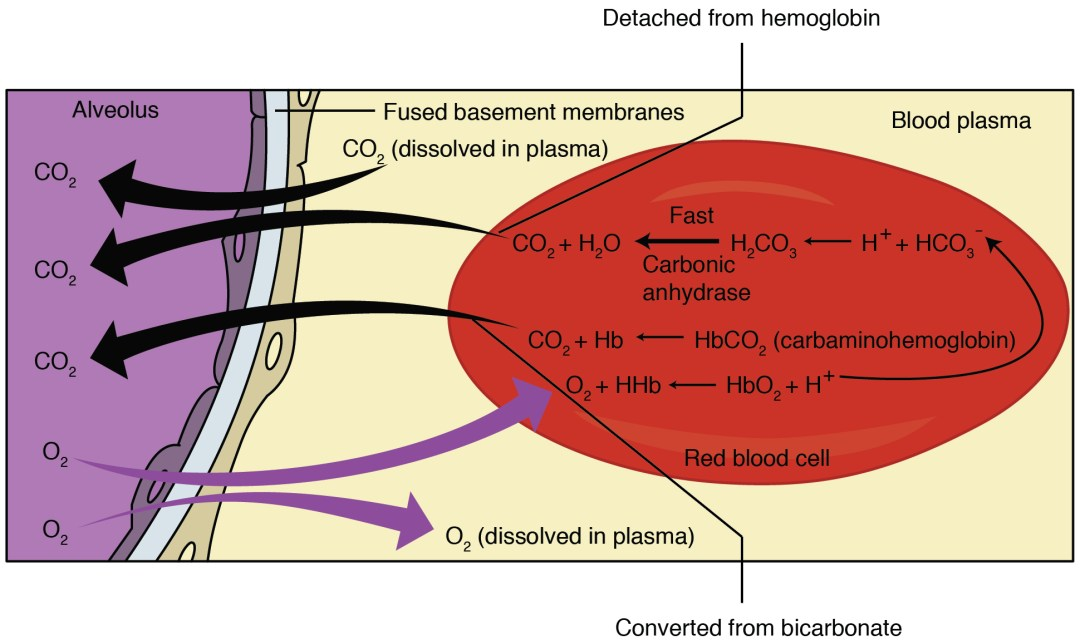 This figure shows the pathway in which external respiration takes place. The exchange of oxygen and carbon dioxide between the alveolus and blood plasma is detailed.
