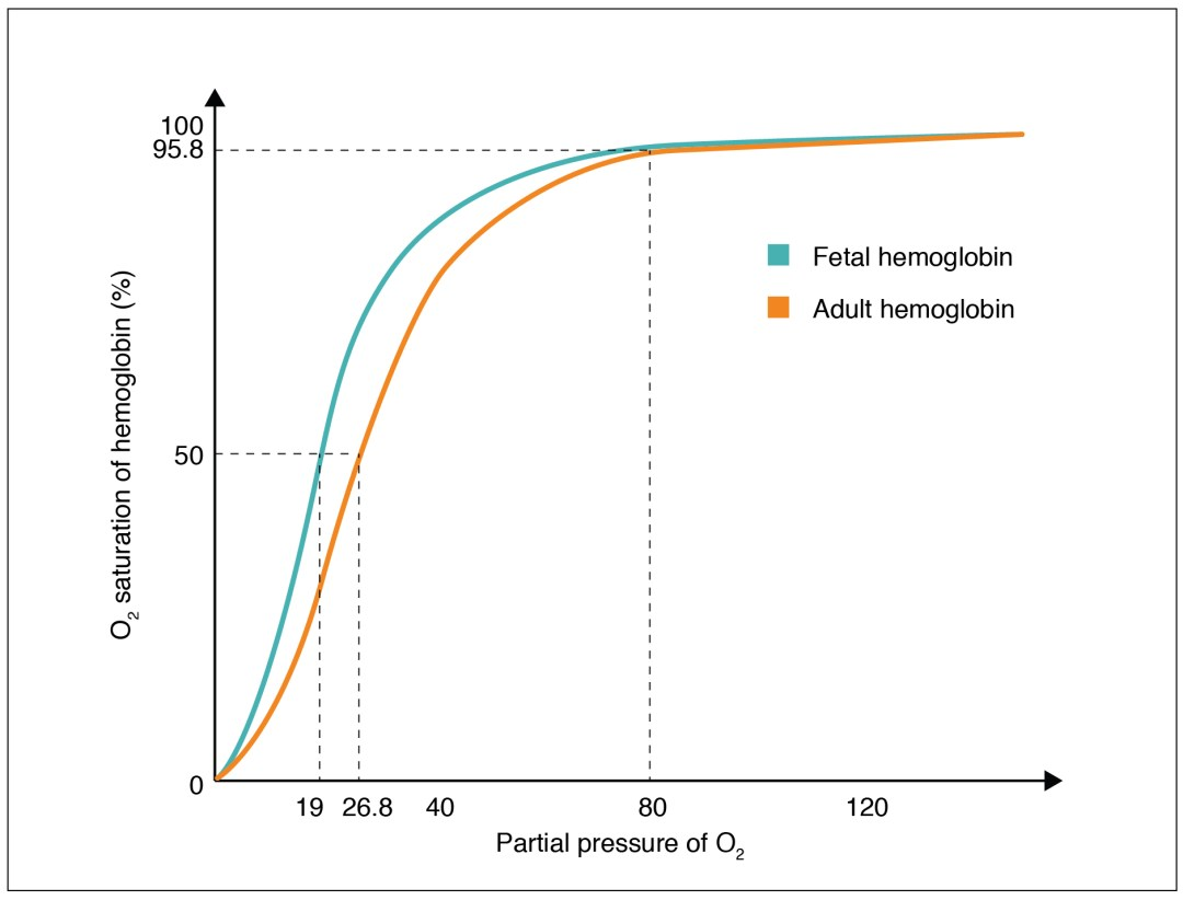 This graph shows the oxygen saturation versus the partial pressure of oxygen in fetal hemoglobin and adult hemoglobin.