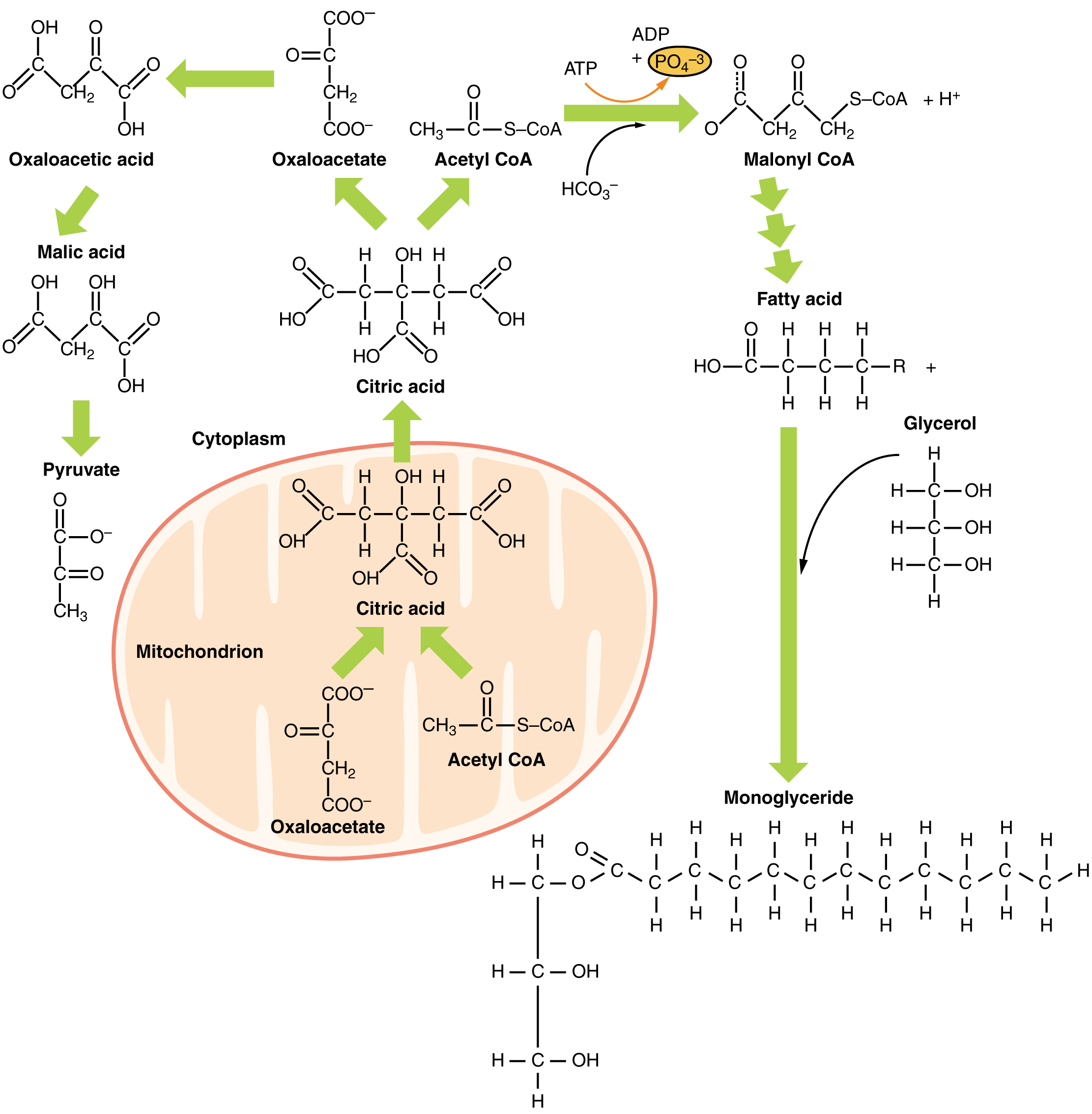 Lipid Metabolism Anatomy And Physiology