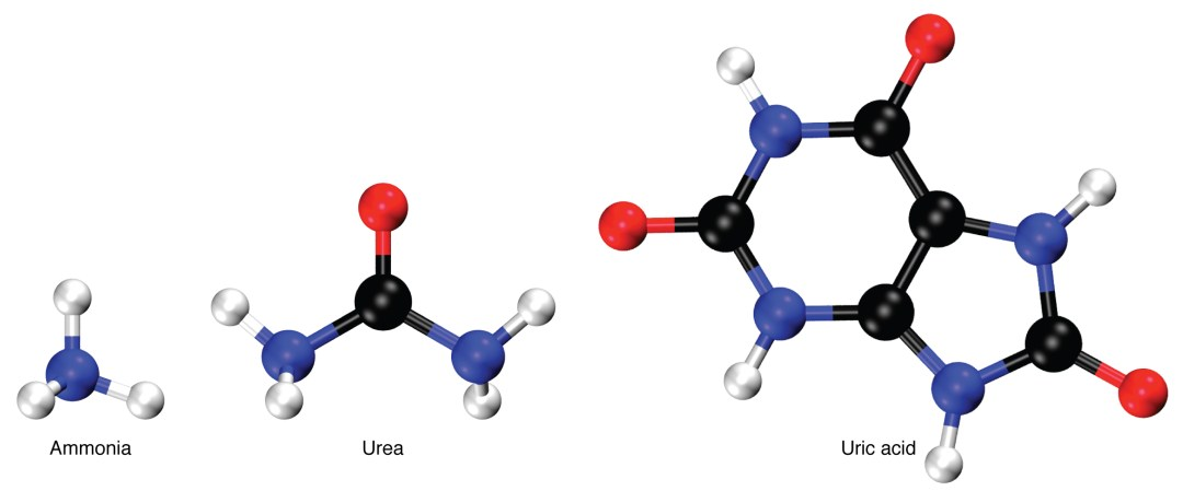 This figure shows the chemical structure of ammonia, urea, and uric acid.