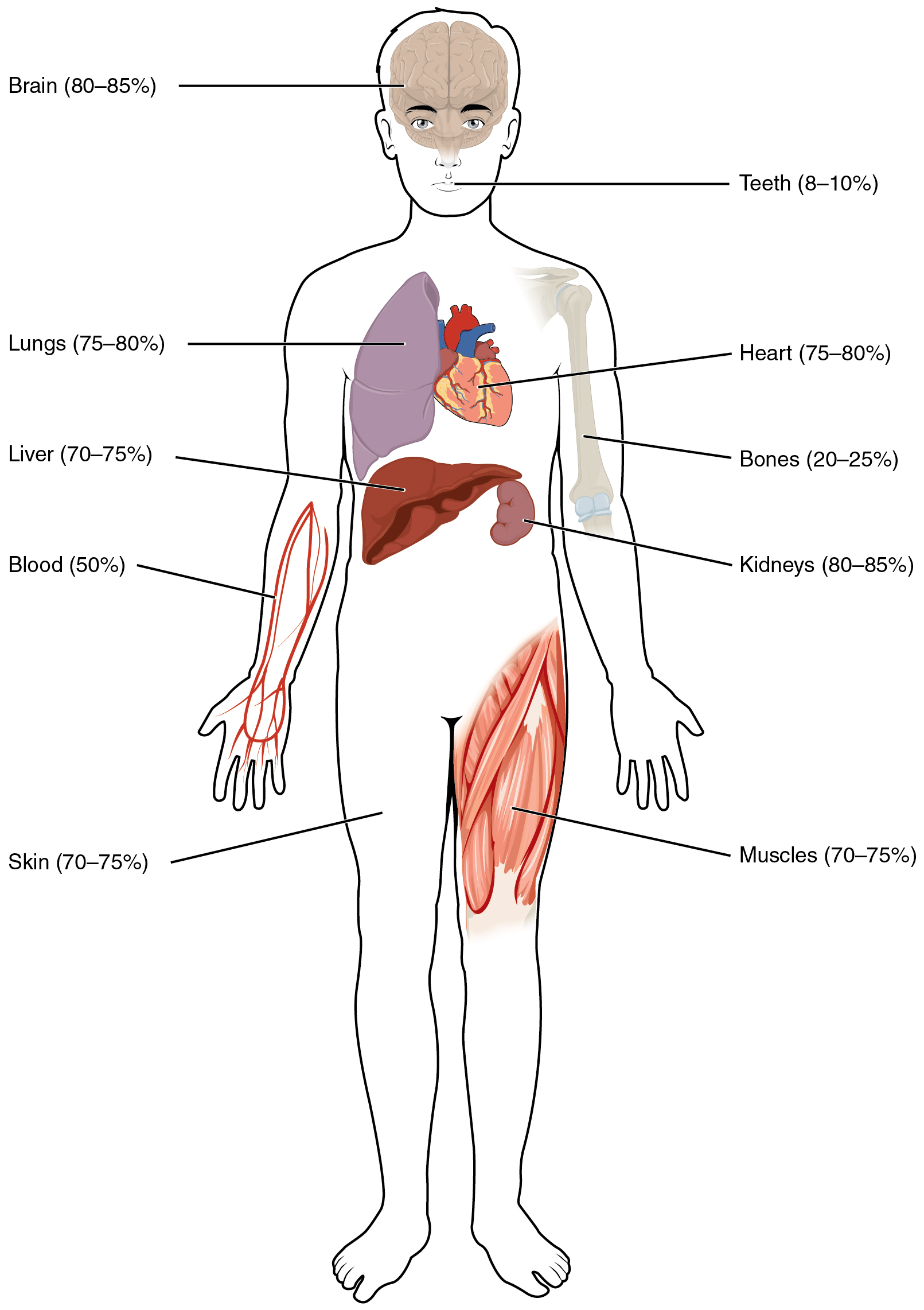 Body Fluids And Fluid Compartments Anatomy And Physiology