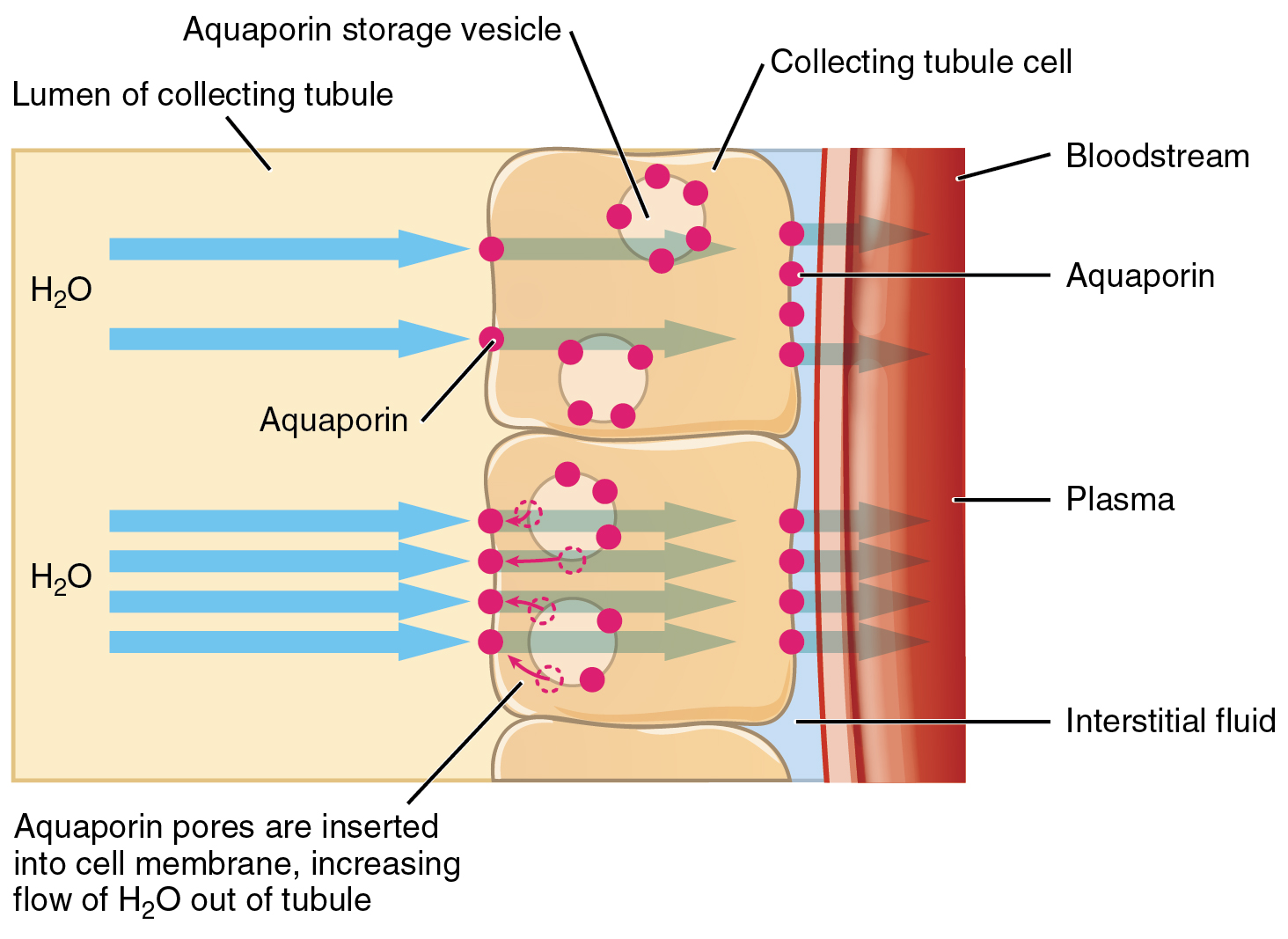 Water Balance Anatomy And Physiology