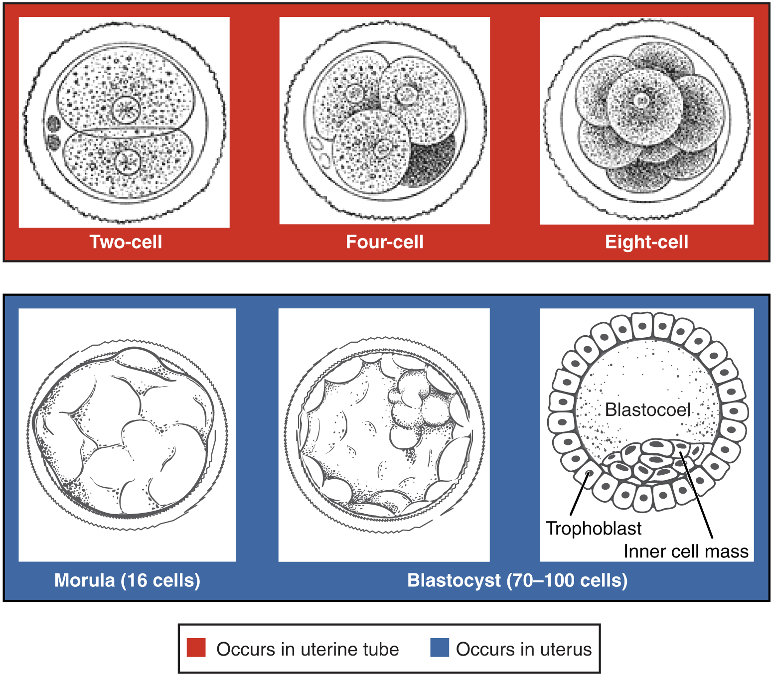 Embryologische Genese Von Zwillingen Und Mehrlingen