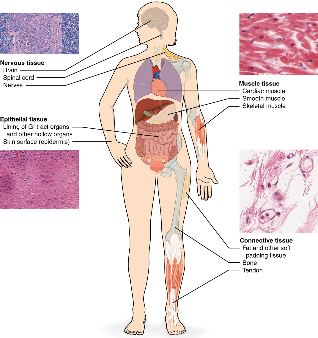 Types Of Tissues Anatomy And Physiology
