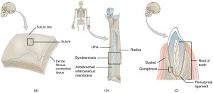 Fibrous Joints · Anatomy and Physiology