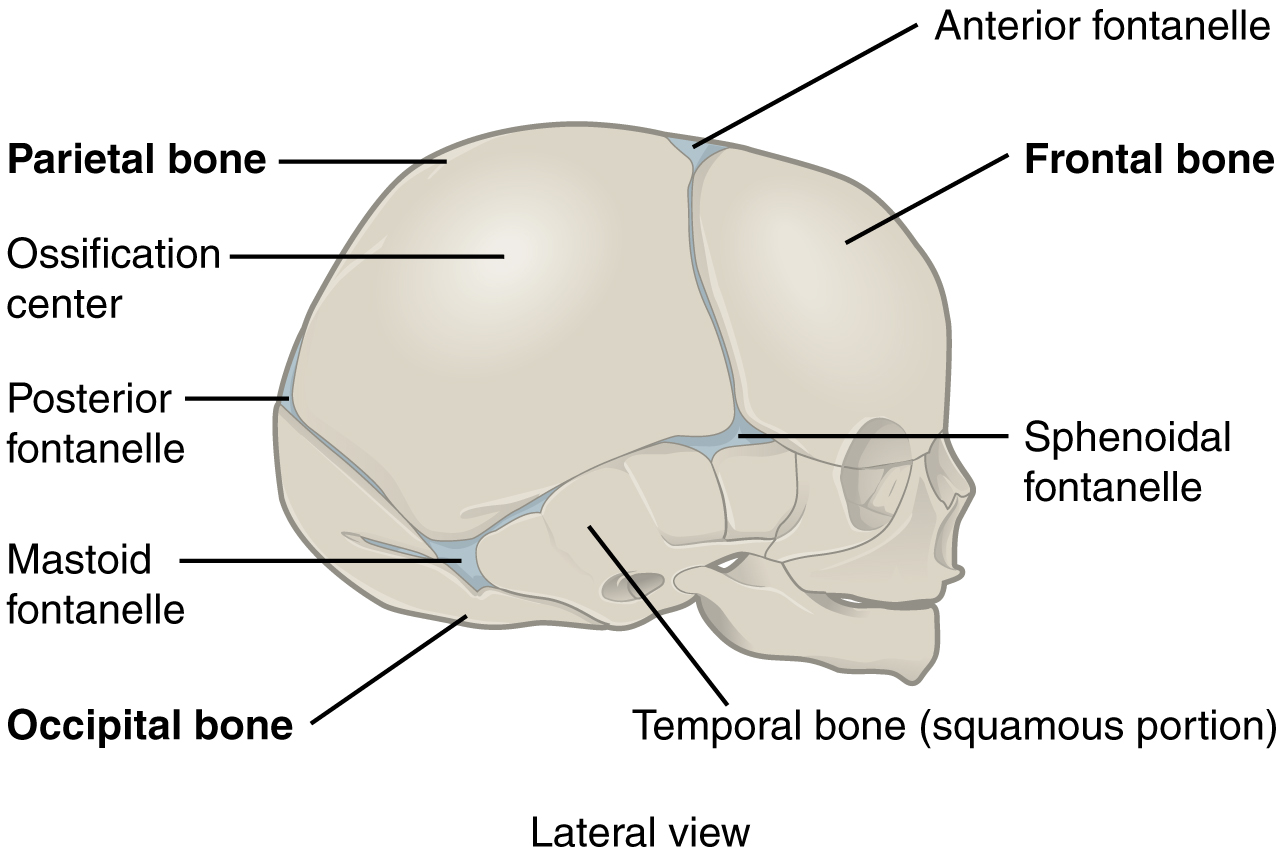 Fibrous Joints Anatomy And Physiology