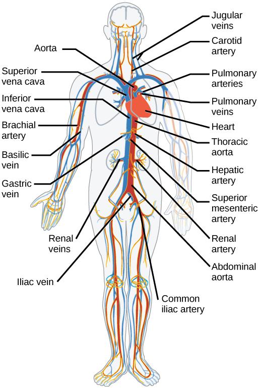 Pig Vessels Coronary Heart Blood