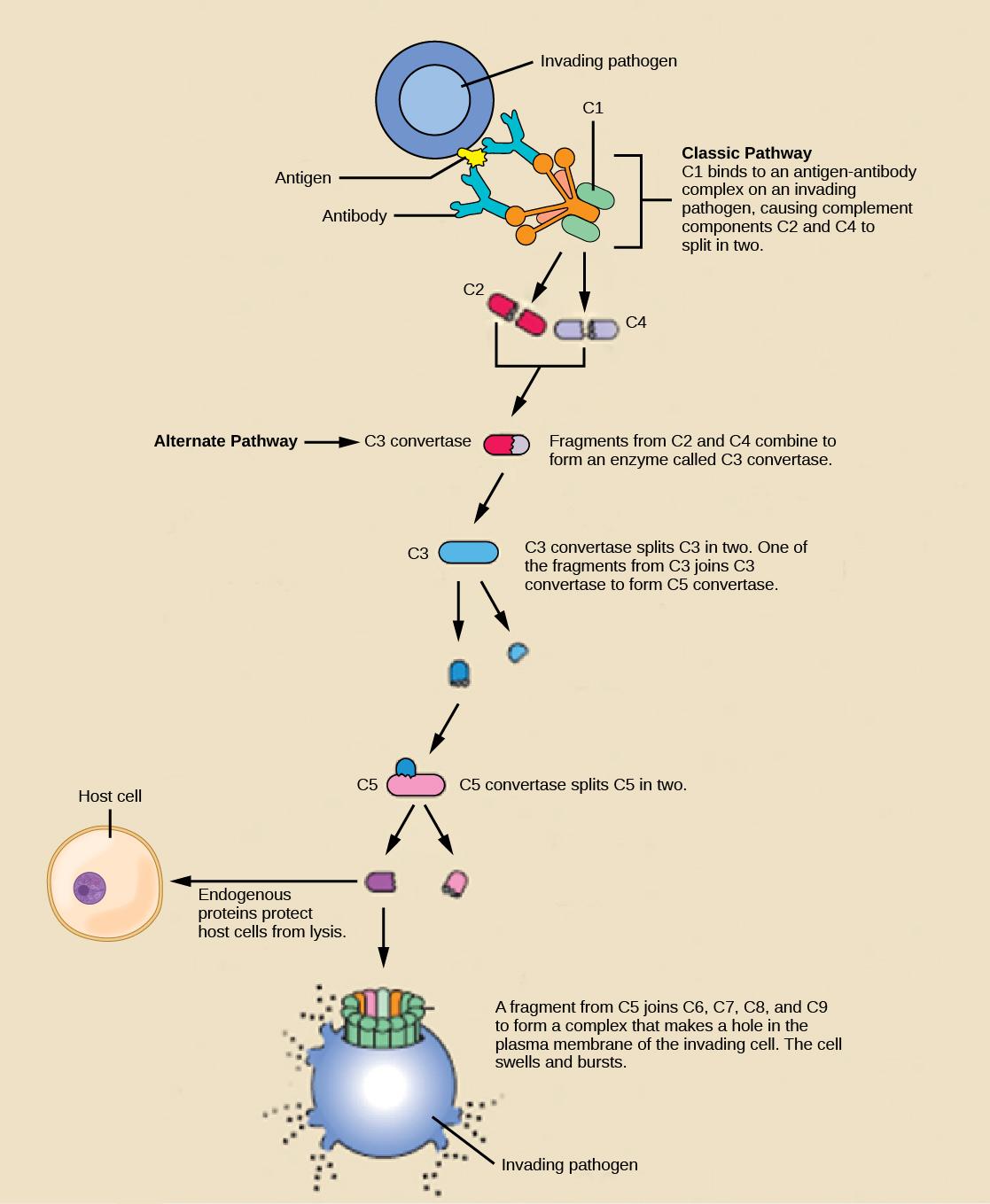 Innate Immune Response Biology