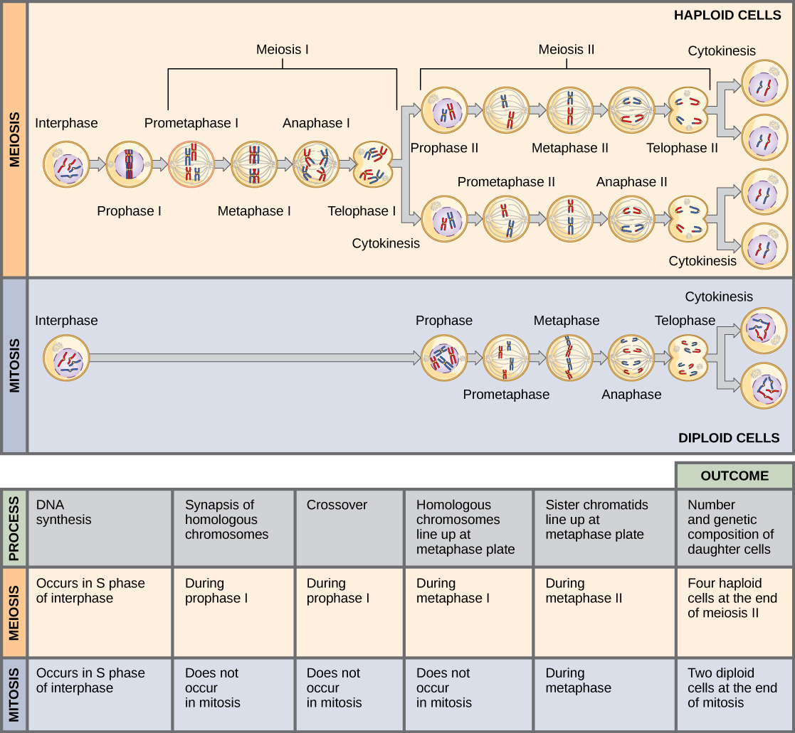 Meiosis Concepts Of Biology