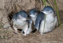Blue Penguins