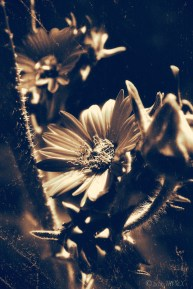 Yellow Daisy Cluster Aged BW_MPHIX