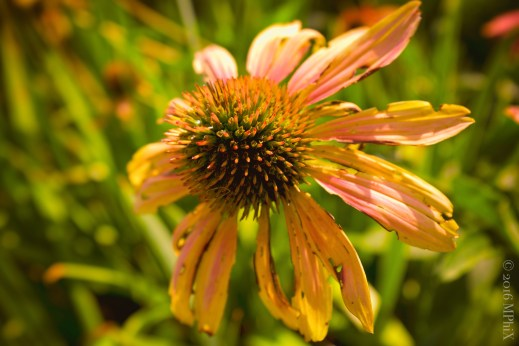 brookside-saturated-cone-flower_mphix