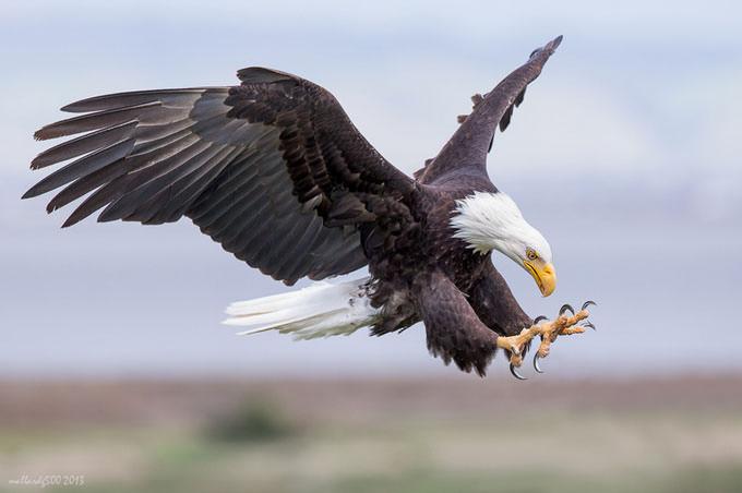 Bald Eagle by Phoo... Chan