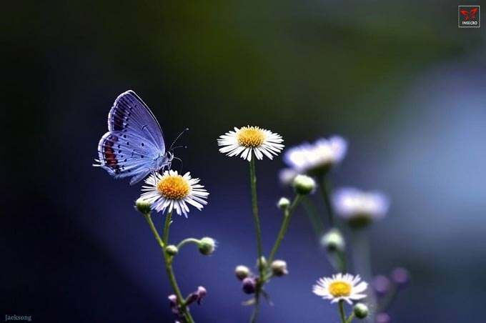 Short-tailed Blue by Jaek Song