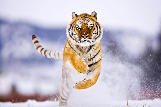 Siberian Tiger 3 by suha -catman