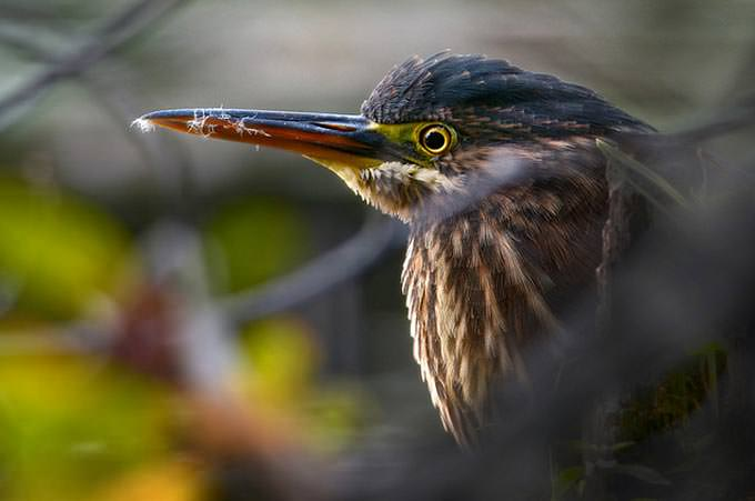 Hiding in the Bushes - Green Heron at sunrise, Mud Lake, Ottawa by Rudy Pohl