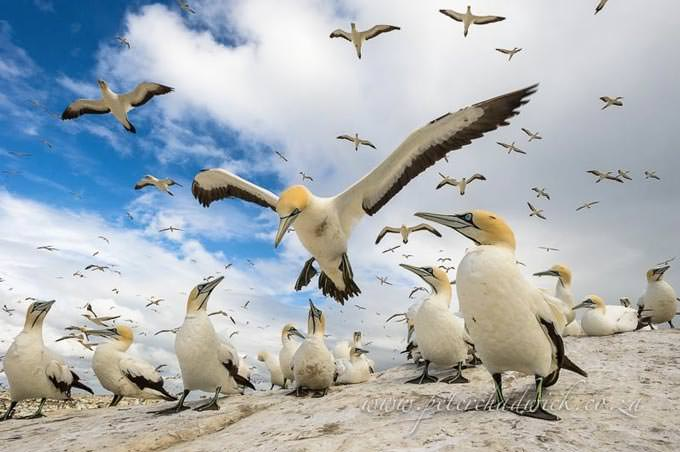 Cape Gannet landing at its colony by Peter Chadwick