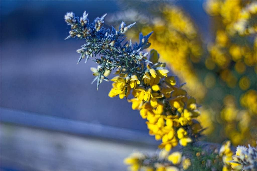 fossdyke yellow flower