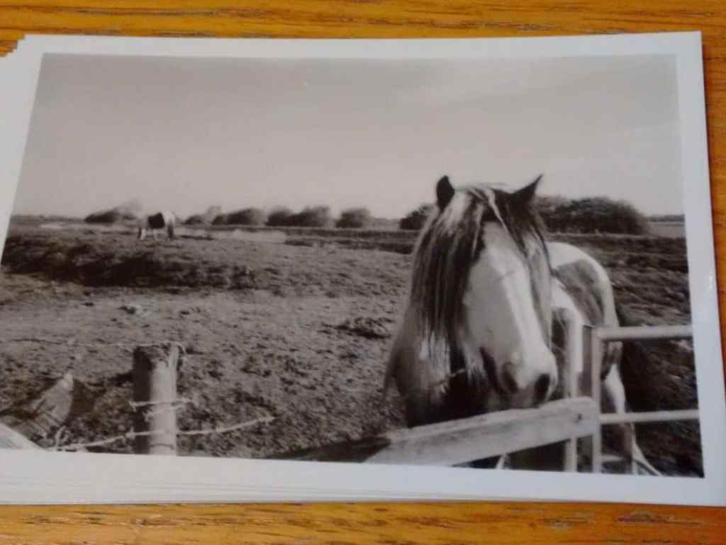 Friendly horses in field with black and white film by phlogger