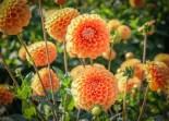 Ball-Dahlie Maren | Foto: phlora.de