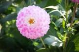 Ball-Dahlie Martina | Foto: phlora.de