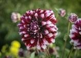 Schmuck-Dahlie Contraste | Foto: phlora.de