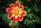 Halskrausen-Dahlie Pooh | Foto: phlora.de