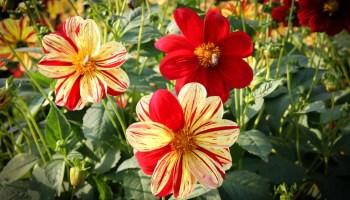 Dahlien Gegen Schnecken Schützen | Phlora.de Dahlien Tipps Pflanzen Pflegen