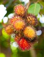 Rambutans aan een boom (foto: Pho Vietnam © Kim Le Cao)