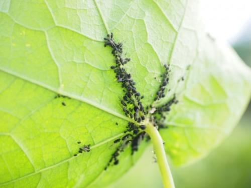 Blattläuse unter Blatt