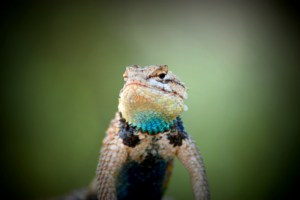 image of a desert lizard