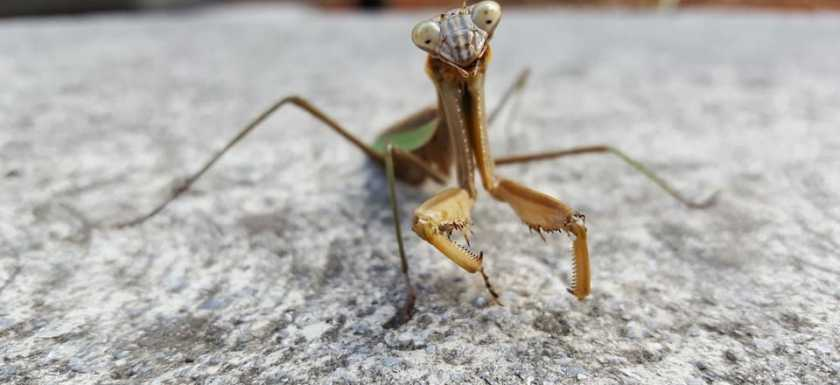 Knoxville pest control, Maryville pest control, Praying Mantis