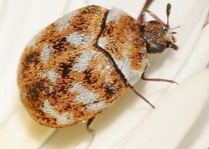 Knoxville Pest Control, varied carpet beetle