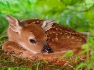 Fawn-deer-10577075-500-375