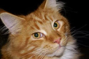 Orange-Maine-Coon-Cat-with-Yellow-Eyes