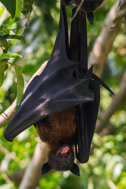 Lipkin et al found 50 new viruses just in the Indian Flying Fox.