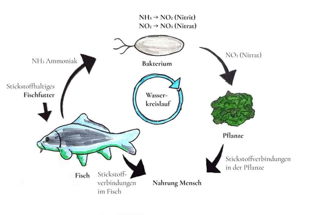 Aquaponik Funktionsweise detailliert Phoster Fleeds