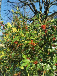 Stechpalmen- Blätter und -Beeren
