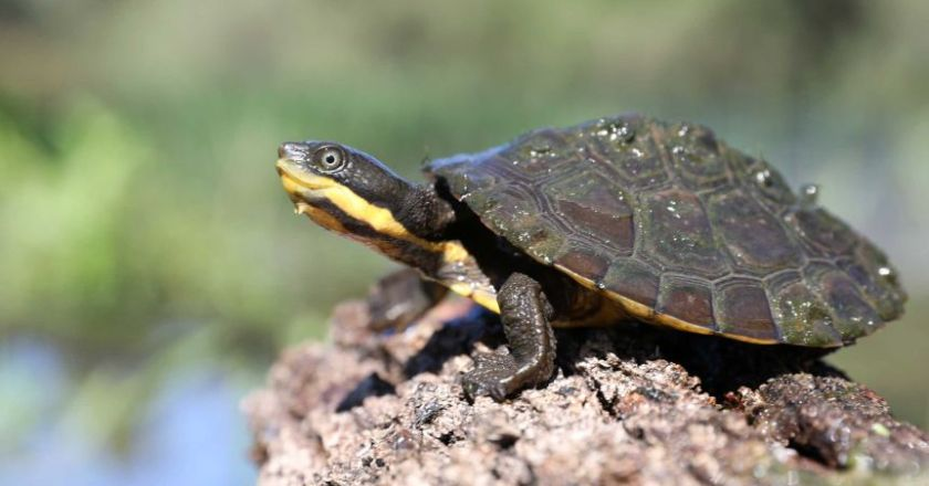 All About Maintaining Animal Aquatic Turtles