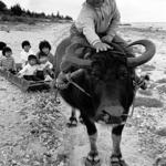 撮影年不明 中村由信《農耕に使われる水牛》 沖縄,石垣市,字白保