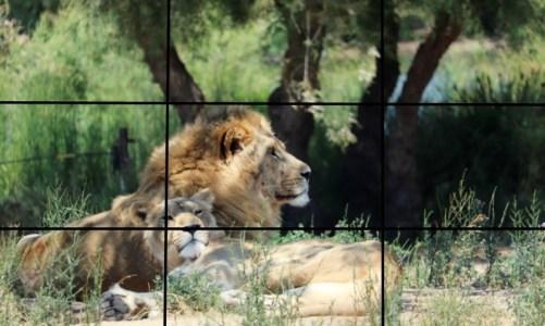 règle des tiers photo de lion regard et habitat sauvage