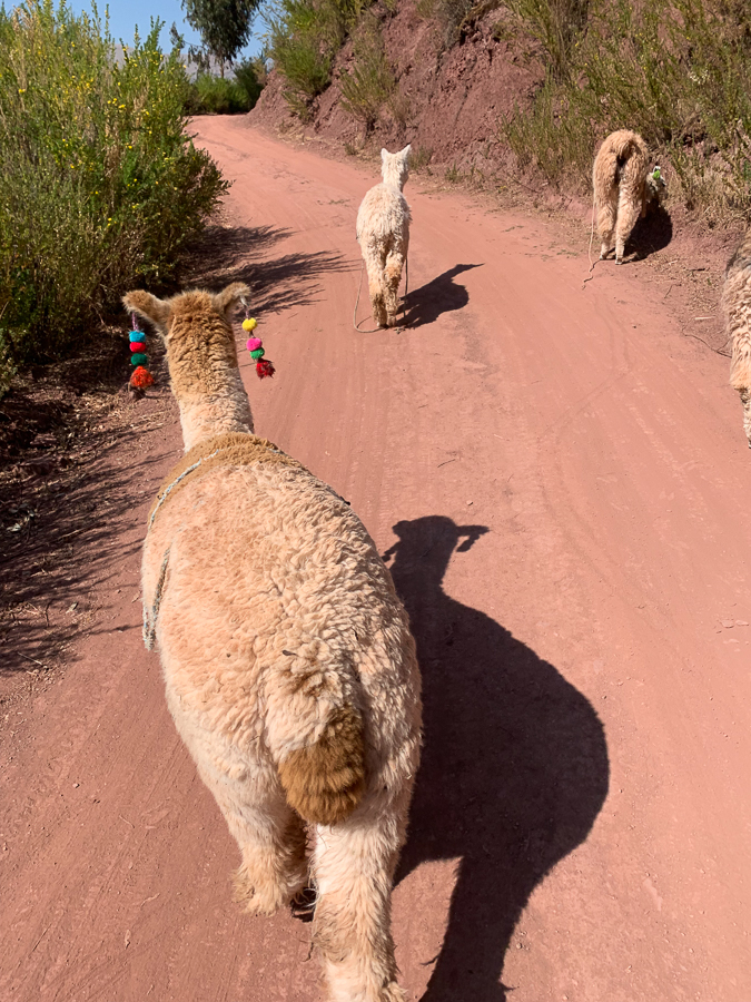 Llamas, Chinchero, Peru ©2019, Cyndie Burkhardt.