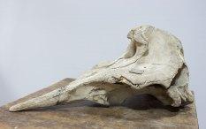 Череп ремнезуба командорського Mesoplodon stejnegeri True, 1885