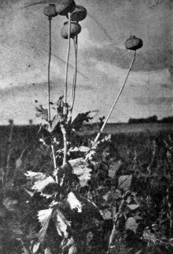 Ярослав і Роман Масляки. Маки, сер. 1930-х рр. (Світло й Тінь. – 1936. – Ч. 8)