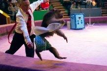 Номер «Веселі мавпочки» під керівництвом дресувальниці Олени Широкової