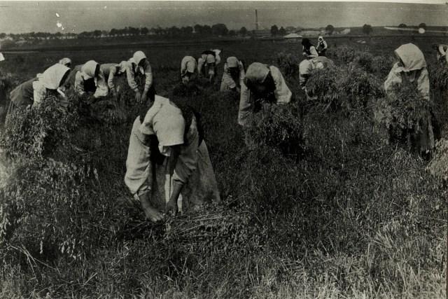 Збір врожаю в районі Стрия. Галичина, початок XX століття