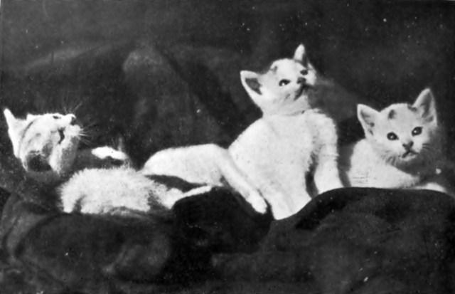 Оксана Світлик. Котики, 1930-ті рр. (Світло й Тінь. – 1937. – Ч. 3)Оксана Світлик. Котики, 1930-ті рр. (Світло й Тінь. – 1937. – Ч. 3)