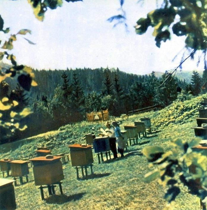 Бджоли на полонинах. Фотограф Микола Федорович Козловський.